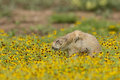 Stop and smell the roses prairie dog smelling springtime flowers Royalty Free Stock Photos