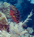 Stoplight parrotfish sparisoma viride is a species of inhabiting coral reefs in florida caribbean sea Stock Photography
