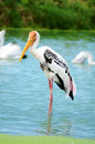 Stork adult in its natural habitat Royalty Free Stock Image