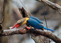 Stork-billed Kingfisher Stock Image