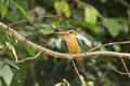 Stork-billed Kingfisher Royalty Free Stock Image