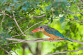Stork-billed Kingfisher bird Royalty Free Stock Photo