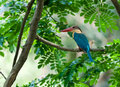 Stork-billed Kingfisher Perched on Tree branch Royalty Free Stock Photo