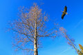 A stork bird flying near big tree against blue sky Royalty Free Stock Photo