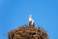 Stork bird in the nest cloeseup of sitting Stock Images