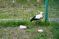 Stork bird in zoo captivity the cage Stock Photo
