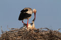 Stork with chicks feeding comforting an adult feeds or comforts one of its three Royalty Free Stock Images