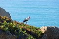 Stork  on a Cliff at Western Coast of Portugal Stock Photo