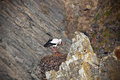 Stork on a Cliff at Western Coast of Portugal Stock Images