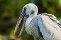 Stork closeup of a painted nesting in the treetops Royalty Free Stock Photo