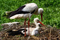 Stork family Royalty Free Stock Photo