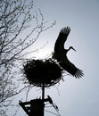 Stork flying from a nest Royalty Free Stock Photo
