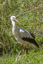 Stork on foraging Royalty Free Stock Photo