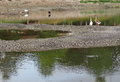 Stork and Goose standing resting walking looking hunting for fish Royalty Free Stock Photo