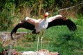 Stork with Head Held High Royalty Free Stock Photo