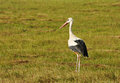 Stork is hunting for frogs on the meadow Royalty Free Stock Images