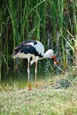 Stork hunting Royalty Free Stock Photo