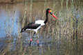 Stork Jabiru hunting, saddle billed stork,  Botswana Royalty Free Stock Photo