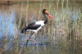 Stork Jabiru hunting in the swamp, saddle billed stork Royalty Free Stock Photo