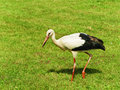 Stork looking for food is walking by green lawn Stock Photography