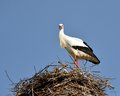 Stork in the nest I Stock Image
