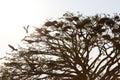 Stork Openbill with dry tree. Royalty Free Stock Photo