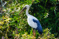 Stork a painted perching in its nest in the treetops Royalty Free Stock Photo