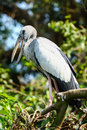 Stork a painted perching in its nest in the treetops Stock Photography
