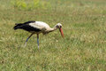 Stork is seeking food on the field Stock Images