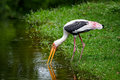 Stork. Royalty Free Stock Photo