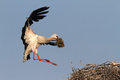 Stork with straw in beak approaching nest a its approaches his and prepares for landing Royalty Free Stock Photo