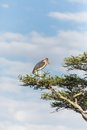 Stork in tree Royalty Free Stock Photo