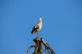 Stork on a tree Royalty Free Stock Photo