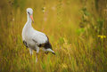 Stork walking on the grass small green Royalty Free Stock Photo