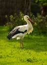 Stork walking on a meadow Royalty Free Stock Image