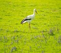 Stork white on a meadow Stock Images