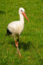 Stork young standing in the meadow Stock Images