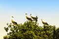Stork young storks on the top of a tree Stock Images