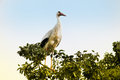 Stork young on the top of a tree Royalty Free Stock Photo