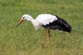 A stork in zoo is looking for the eat Stock Images