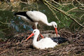 Storks Royalty Free Stock Photos