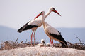 Storks above the rocks Royalty Free Stock Photo