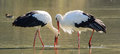 Storks adult specimen of white in the marsh Royalty Free Stock Photography