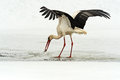 Storks arrived in early spring with wintering Royalty Free Stock Photos