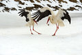 Storks arrived in early spring with wintering Royalty Free Stock Photo