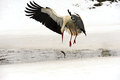 Storks arrived in early spring with wintering Royalty Free Stock Photography