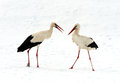 Storks arrived in early spring with wintering Royalty Free Stock Images