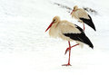 Storks arrived in early spring with wintering Stock Image