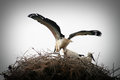 Storks bring babies in their nest Royalty Free Stock Photography
