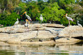 Storks and crocodile a group of perched on a riverside rock with a basking in the sun in front Royalty Free Stock Photo